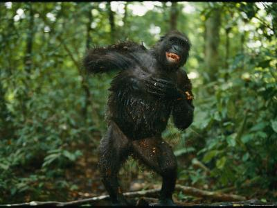 A Gorilla Beats its Chest to Achieve Recognition Within its Group