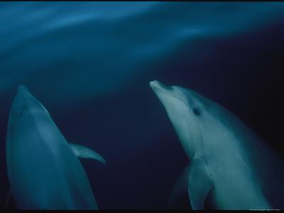 Bottlenose Dolphins in a New Zealand Fiord