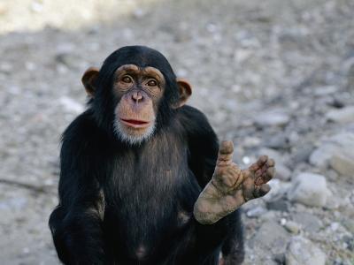 Chimpanzee Showing His Foot