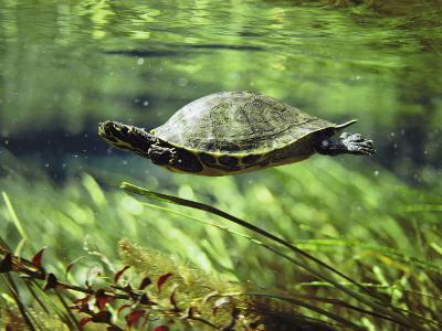 A Freshwater Turtle Swimming Underwater