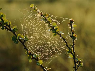 A Dewy Spider Web on a Dwarf Birch Tree