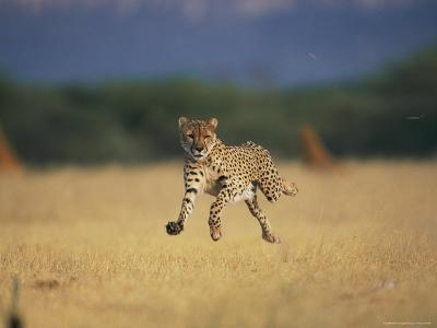 An African Cheetah Caught with All Feet off the Ground in Mid-Sprint
