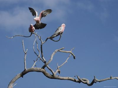 Pink and Gray Galah Cockatoos