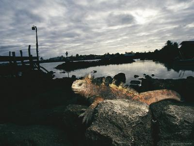 A Marine Iguana Rests on a Rock