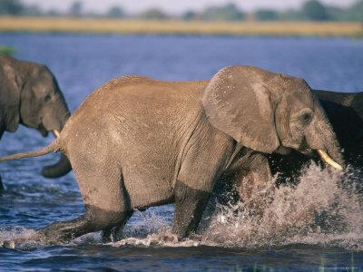African Elephants Running into the Chobe River to Drink