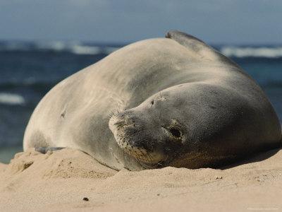 A Hawaiian Monk Seal Lays in the Sand on a Beach