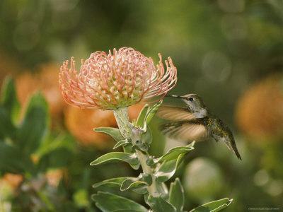 An Annas Hummingbird Hovers Near a Plant