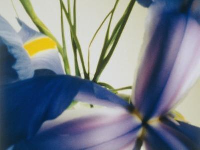 A Close-up of a Purple Iris