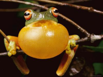 Red-Eyed Tree Frog, Calling