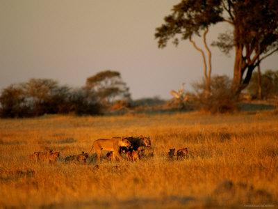 Lionesses and Their Cubs Make a Joyful Sight as They Gambol Across the Golden Savannah