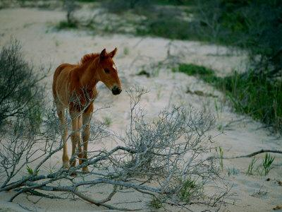 A Wild Pony on the Beach at Chincoteague Island