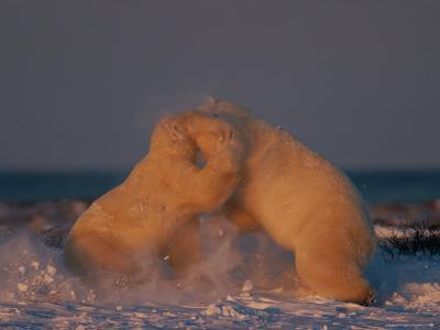 A Pair of Polar Bears (Ursus Maritimus) Wrestle with One Another