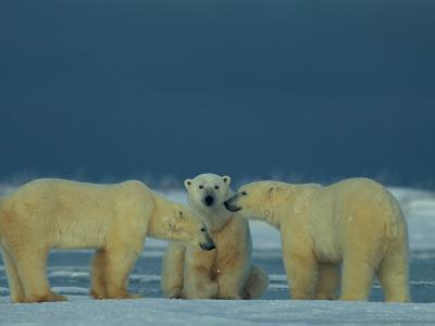 A Trio of Polar Bears (Ursus Maritimus) Playing