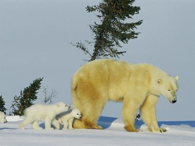 A Mother Polar Bear Trudges Through the Snow with Her Three Cubs in Tow