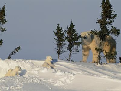 A Mother Polar Bear Trudges Through the Snow with Her Three Cubs