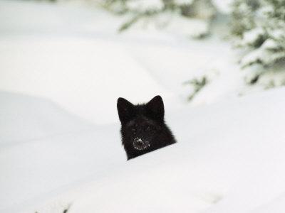 A Red Fox in its Silver Fox Phase During Winter