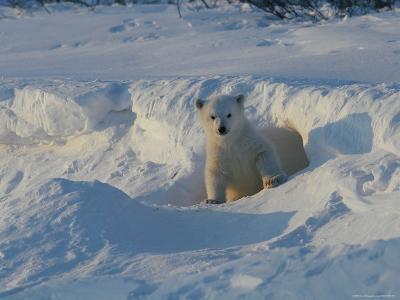 A Three-Month-Old Polar Bear Cub Exits its Den