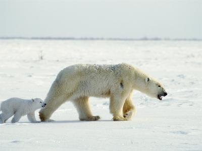 A Polar Bear and Her Three-Month-Old Cub Walk Across the Frozen Tundra