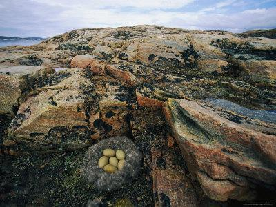 Eider Nest and Eggs
