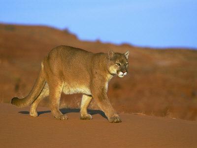 A Mountain Lion Strides Across the Arid Turf
