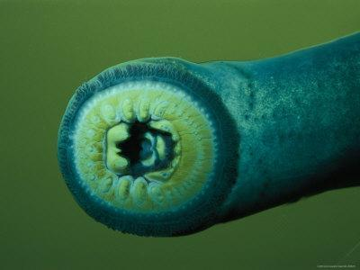 Close View of a Pacific Lamprey, Which Can Grow up to 30 Inches in Length