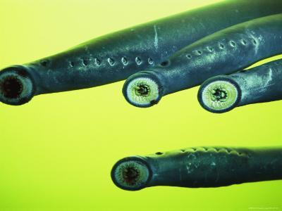 Lamprey Eels Clinging to Glass at the Bonneville Dam on the Columbia River
