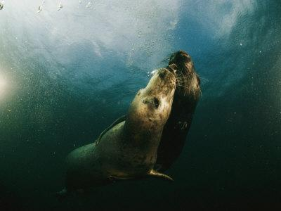 Two Seals Playing Together Underwater