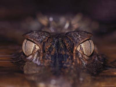 The Eyes of a Crocodile Seen Just Above Water Level
