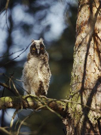 A Juvenile Horned Owl