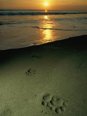 Jaguar Paw Prints in the Sand