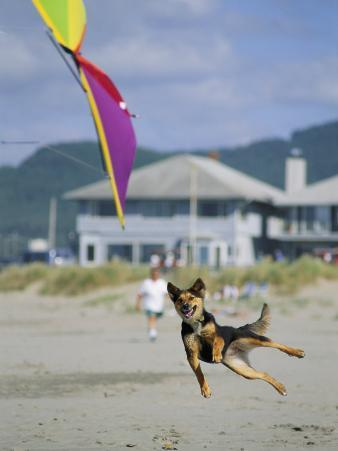 A German Shepherd Leaps for a Kite on the Beach at the Lincoln City Kite Festival