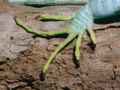 A Close View of a Fijian Banded Iguanas Foot