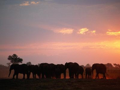 African Elephant Herd Silhouetted at Twilight