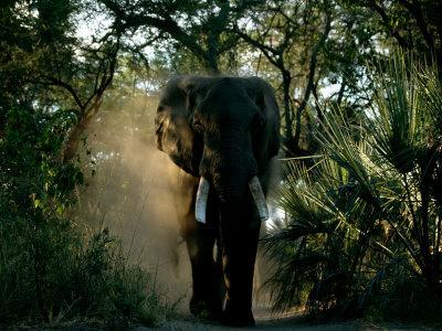 African Elephant in a Forest Setting