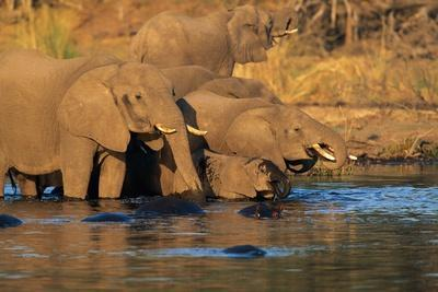 African Elephants Drinking at a Water Hole