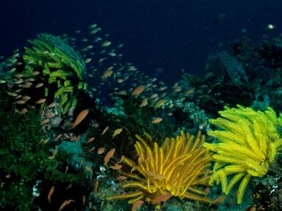 Small Fishes Swim Amongst Corals and Crinoids on a Reef