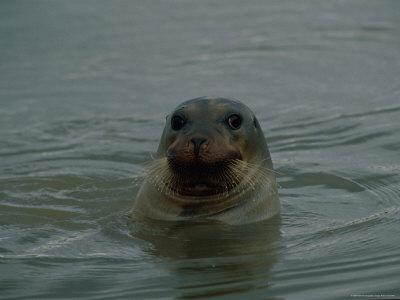 A Seal Pokes its Head out of the Water