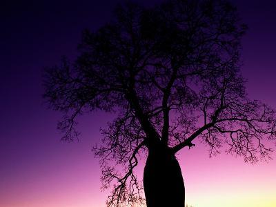 Silhouetted Baobab Tree Near Jandowae