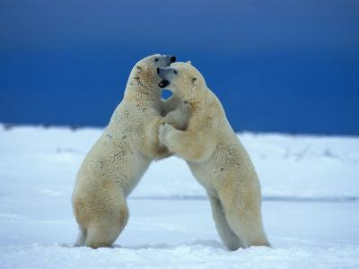Young Male Polar Bears Spar with One Another