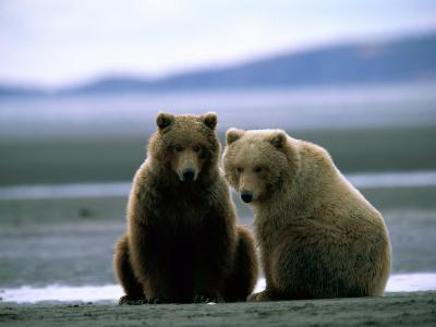 Grizzly Bear Cubs Pose for the Camera