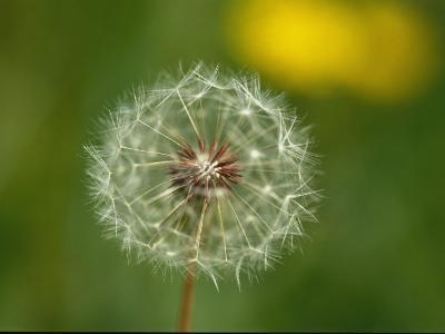 Close View of a Dandelion Gone to Seed