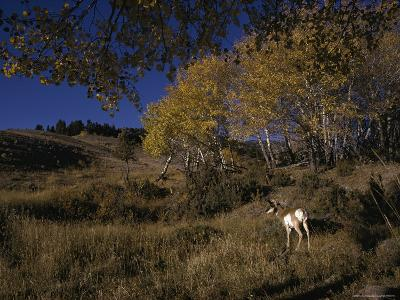 Pronghorn Buck Near a Grove of Aspens