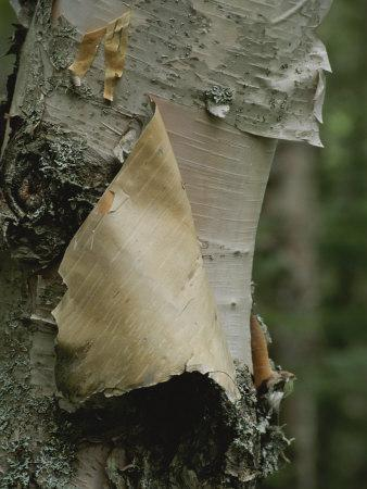 Close View of Paper-Birch Bark