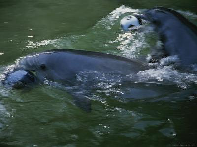 Captive Bottlenose Dolphins Swim with Balls in Their Mouths