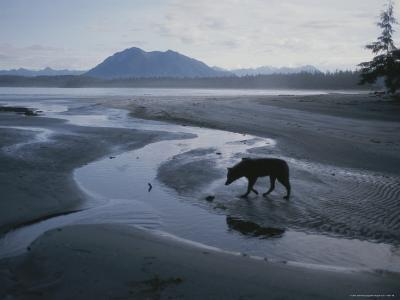 One of Vargas Islands Habituated Wolves Scavenges a Tidal Flat