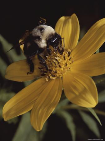 A Bumble Bee Gathers Nectar from a Cosmos-Like Flower