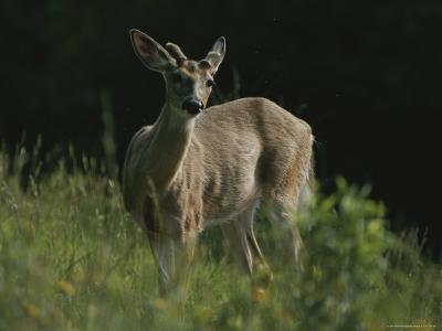 Antlers Begin to Sprout on a White-Tail Bucks Head