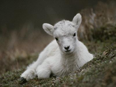 Portrait of a Juvenile Rocky Mountain Goat
