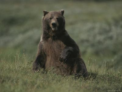 A Grizzly Takes a Seat to Survey its Surroundings