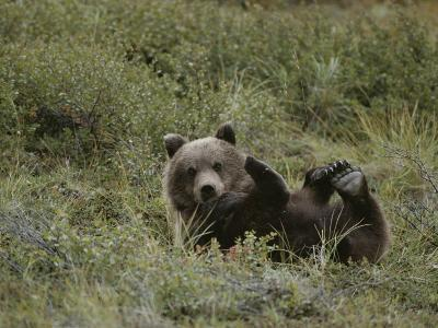 A Grizzly Lounges in a Humorous Position